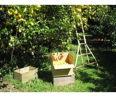 10kg Fresh Meyer Lemons