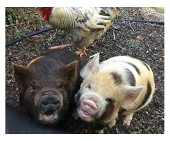 Adorable Kunekune pigs