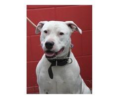 Dogwatch - Bulldog Cross - Gemma
