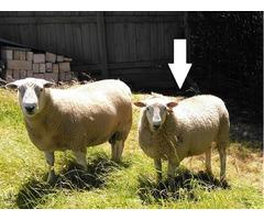 Texel Ram Lamb