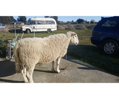 Whilshire ewe wanted
