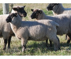 3 Strong healthy winter lambs for sell
