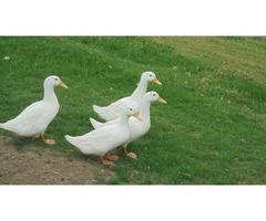 for sale pekin ducks