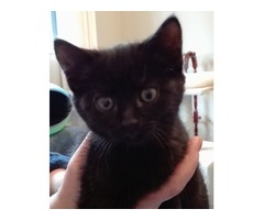 Gorgeous Black Female Kitten 9 weeks old.