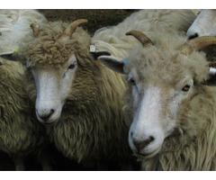 Drysdale lambs - rare breed