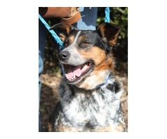 Dogwatch -  Australian Cattle Dog - Grace