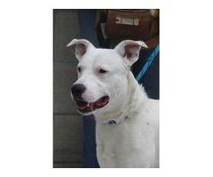Dogwatch - Bullie/Collie Cross - Mayo